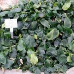 Anubias / 15 types / care and reproduction