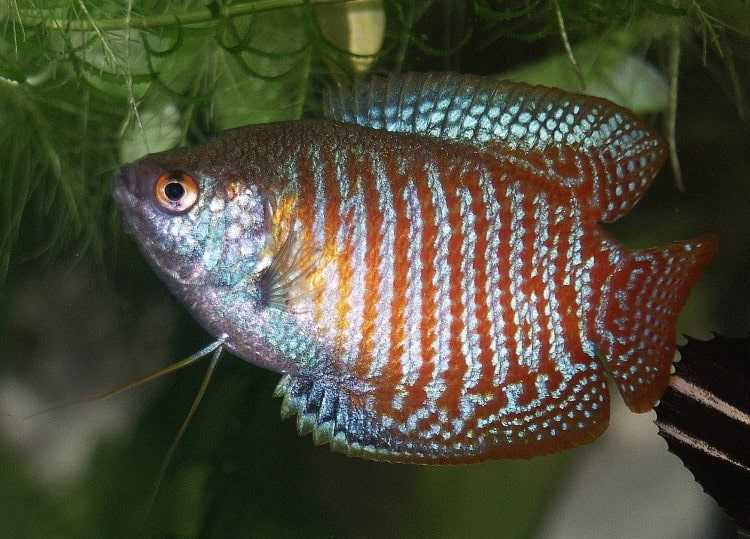 list of fish that can live without oxygen