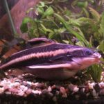 Can fish die from overfeeding