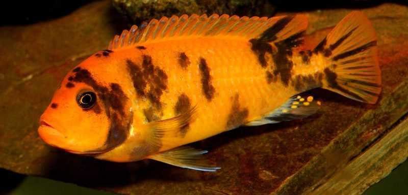 What other fish can live with african cichlids