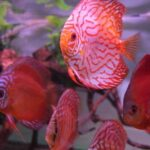 Where are discus fish from