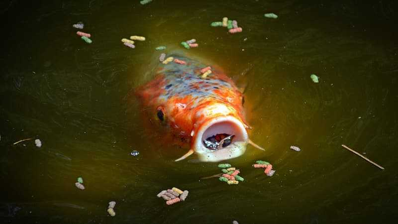 What to feed freshwater fish
