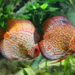 How long can tropical fish go without food?