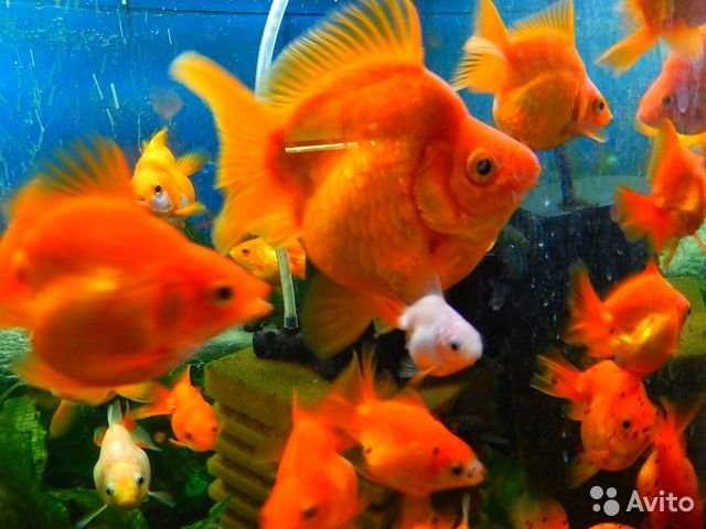 How to feed a goldfish