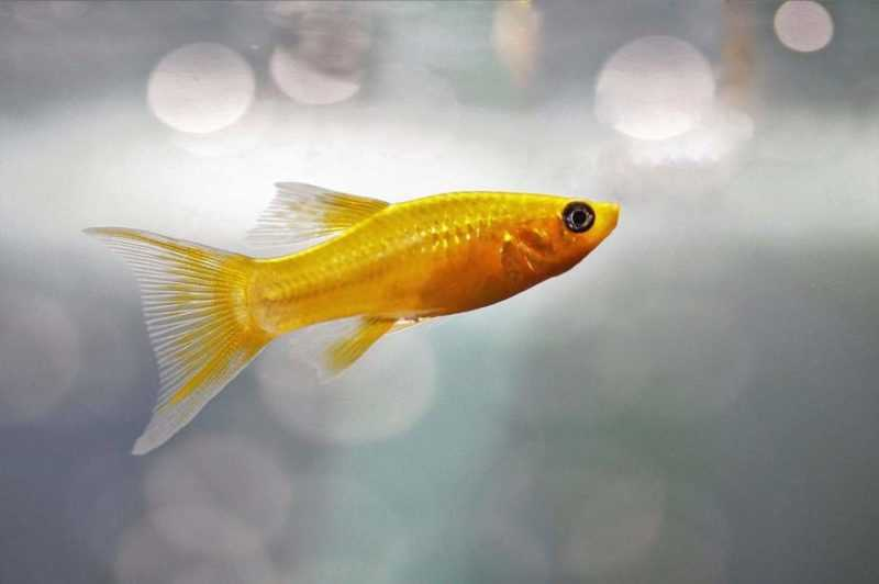 How to feed molly fish fry?